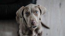 Dogo Canario puppy in yellow dandelions